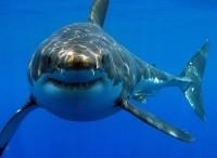 Есть ли опасные акулы в Черном море?