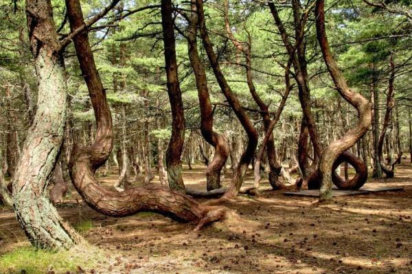 удивительный российский танцующий лес